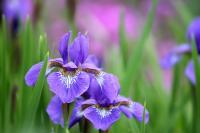 image of iris flowers